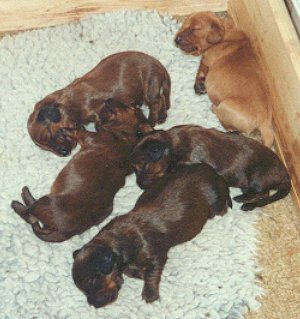 Puppies, 10 days old