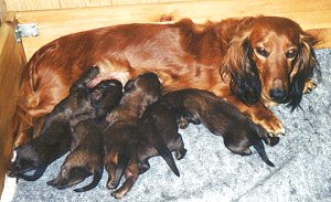 Little, hungry dachshund puppies